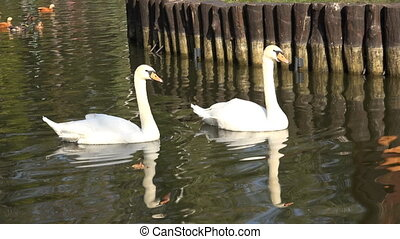 Sweet Couple of White Swans on the Water - Sweet Couple of...