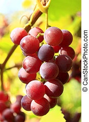 cluster of ripe grapes - cluster with ripe and big berries...