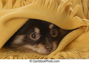 Pomeranian, cobertor, amarela, sob, Filhote cachorro,...