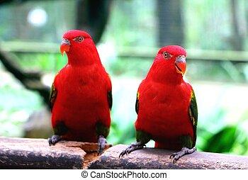 par, rojo, loro