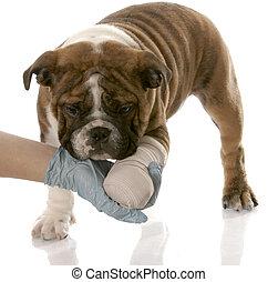vétérinaire, main, tenue, blessé,...