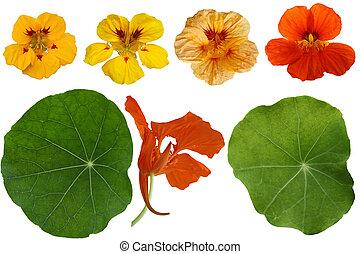 Nasturtium Flower Set - Set of Nasturtium Dwarf Jewel...