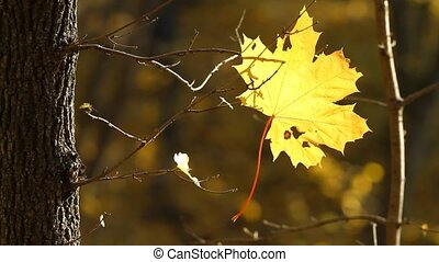 Maple leaf in autumn - Maple leaf on a tree in autumn