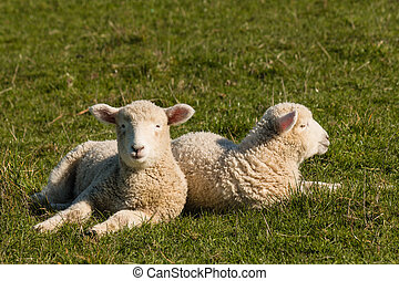two lambs resting on grass - closeup of two lambs resting on...