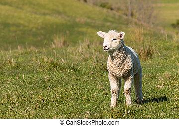 curious lamb standing on grass - closeup of curious lamb...
