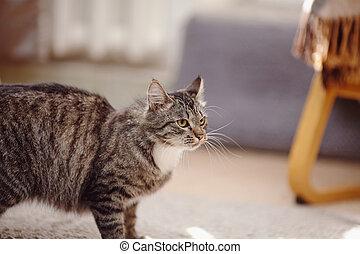 retrato, enojado, rayado, gato