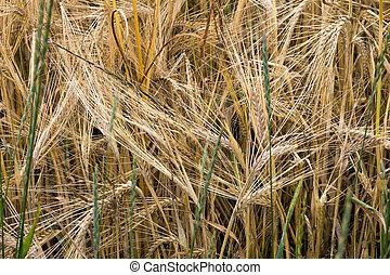 Barley - Detail of the barley - barley grains