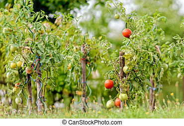 tomatoes - tomato plants in a garden