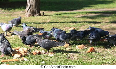 A group of pigeons that are feeding of the ground