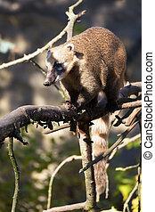 South American coati Nasua nasua, known as the ring-tailed...