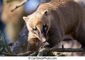 South American coati Nasua nasua, known as the ring-tailed...
