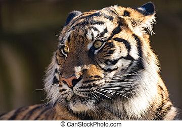 Sumatran Tiger, Panthera tigris sumatrae - Sumatran tiger...