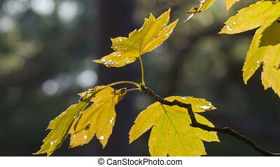 maple twig swaying in autumn wind