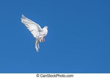 White dove flying against the blue sky