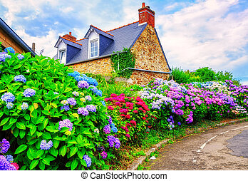 Colorful Hydrangeas flowers in a small village, Brittany,...