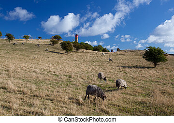 On pasture at Cape Arcona, Ruegen Island - Sheep on pasture...