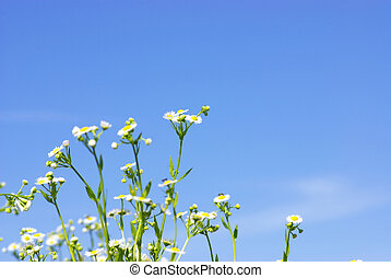 camomiles flowers on cloudy sky