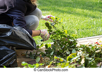 Gardener cuts the rose bushes