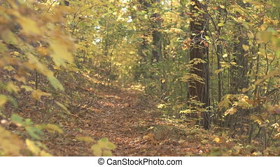 Fall Season in the Forest - Static view at path leading...