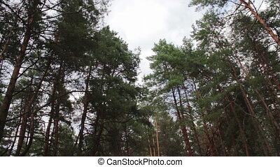 Firs in the pine forest - The tops of Christmas trees, pine...
