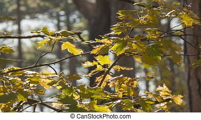 Maple branches in the wind