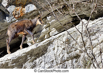 Chamois Rupicapra Carpatica walking in mountain