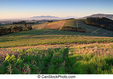 Winelands - Rows of Vineyards in early evening sunlight near...