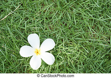Champa flower on grass - White Champa flower on grass in...