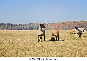 sheeps on grazing land at fall colour nature