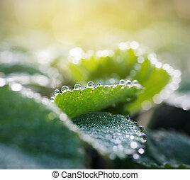 Dewdrops - dew drops on green leaves