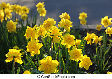 Beautiful yellow Daffodils - Bed of beautiful yellow...