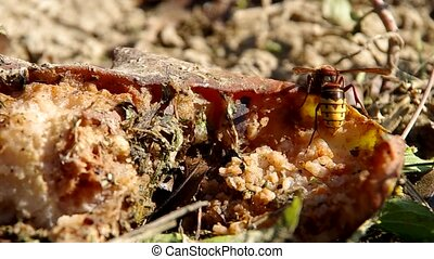 Rotten vegetables in the garden - Flies and Hornet on rotten...