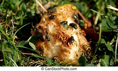 Rotten fruit in the garden - Flies and wasps on rotten fruit...
