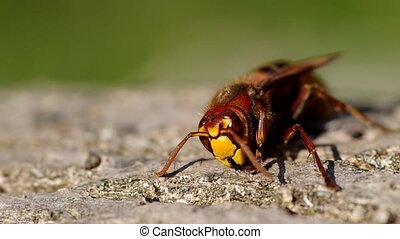 Hornet on a wooden bark and green background