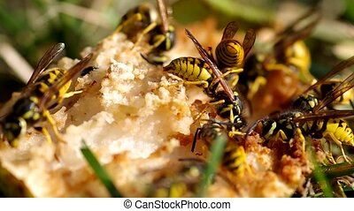 Wasps eat a pear in the garden in autumn