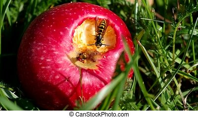 Wasp on red apples - Wasp on a red apple on green grass in...