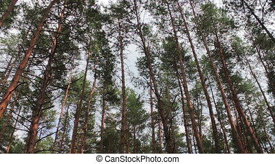 Firs in the pine forest. - The tops of Christmas trees, pine...