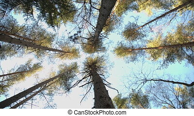 Trunks of high pine trees, stretching up into the sky camera...