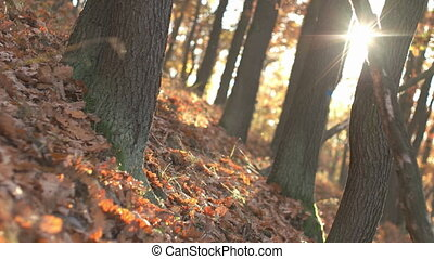 Fall Season in the Forest - Swinging camera move in the...