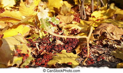 Many red soldier bug in yellow autumn leaves.