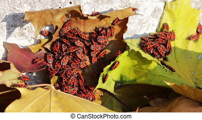 Many red soldier bug in yellow autumn leaves - Colonies of...