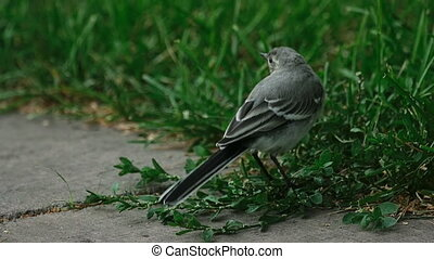 Wagtail bird - Wagtail looks for insects on the pavement...