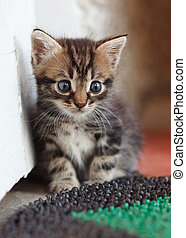 fanny kitten - funny gray-brown kitten with big blue eyes