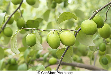 Jujube fruit on the trees, taste the delicious.
