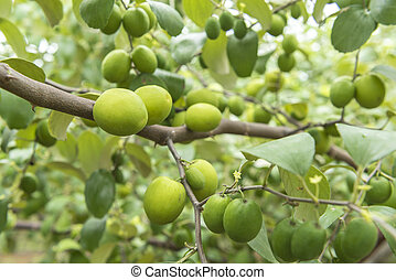 Jujube fruit on the trees, taste the delicious