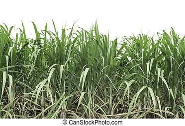 Sugarcane crops grown in the field on a white background;...