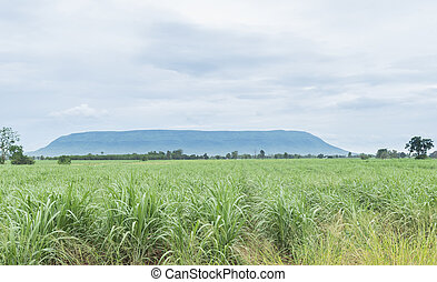 Sugarcane production in the sugar industry is so large