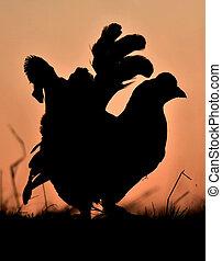 Silhouette of Lekking Black Grouse ( Lyrurus tetrix) against...