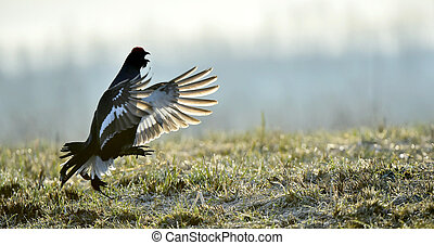 lekking black grouse - Portrait of a Gorgeous lekking black...