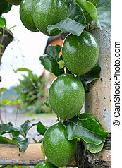 Marquisa Telur Kodok passion fruit still green on the tree